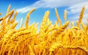 76877213_large_wheatfieldlandscapepicture_1920x1200_79596__1406112517_176.195.1.79